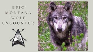 Epic Wolf Encounter