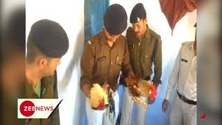 MP: 2 roosters arrested over cock-fight, kept in Athner police station