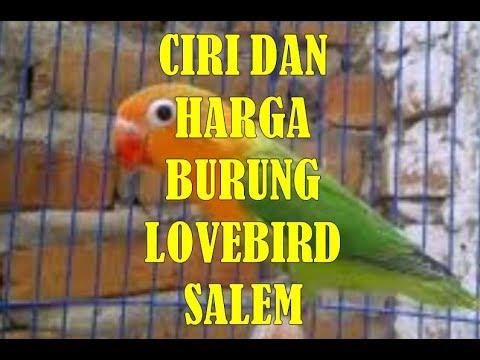 Download Ciri Ciri Dan Harga Burung Lovebird Salem Terbaru 2018 free