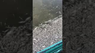 Cá chết trắng hồ Tây, Hà Nội
