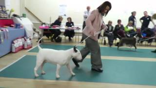 Championship Show March 2016 West of England Bull Terrier Club Open Dog
