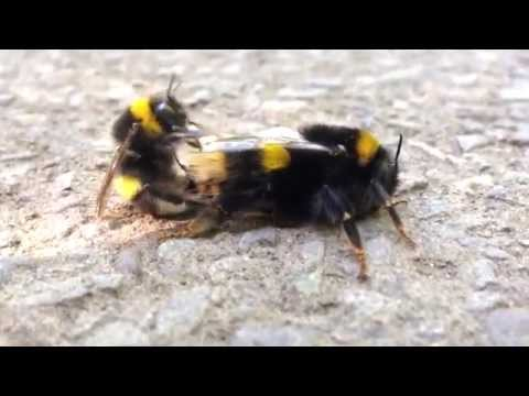 Xxx Mp4 Pair Of Bumble Bee S Making Love Having Sex Beeporn 3gp Sex