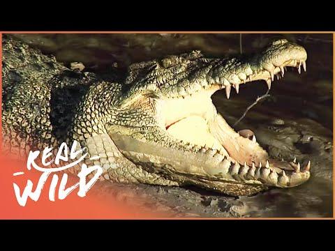 Crocodile Island Australian Crocodile Documentary Real Wild