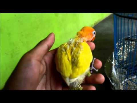ANAKAN LOVEBIRD PASKUN VS LUTINO