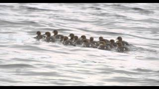 Goosander with large brood of chicks in 4K