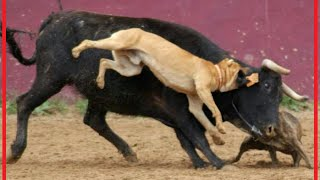 when victims fight back: dog takes down a bull