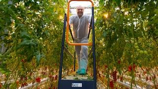 Pestovanie paradajok vo Farme Babindol