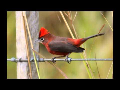 Cantos dos Pássaros Tico Tico Rei Lanio cucullatus