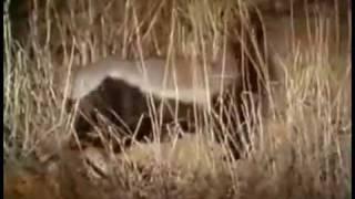 """اشجع حيوان على الارض""""الغرير"""" honey badger"""