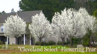 *'Cleveland' Flowering Pear Tree* +Perfect White Flowering Trees+