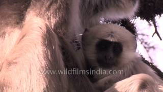Breast-feeding and de-ticking - Tender motherly love of Indian simian langur and young