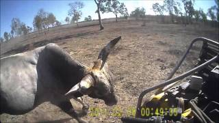 Bull catching in far north Queensland