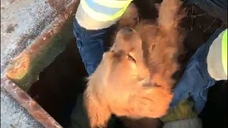 Firefighters rescue dog from storm drain