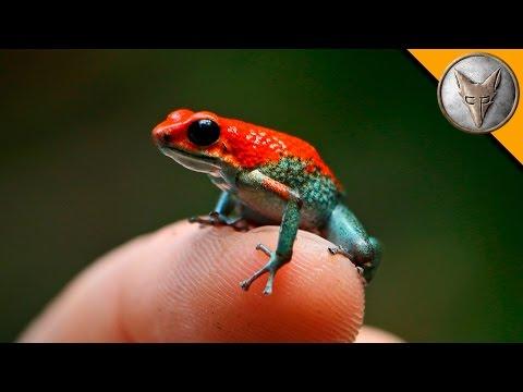 Deadly Poison Dart Frog