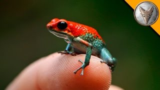 Deadly Poison Dart Frog?