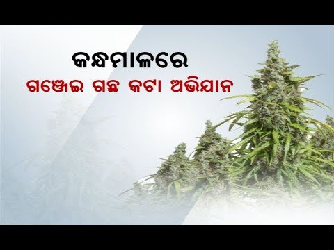 Xxx Mp4 Kandhamal District Adminstration Destroy Ganja Trees 3gp Sex
