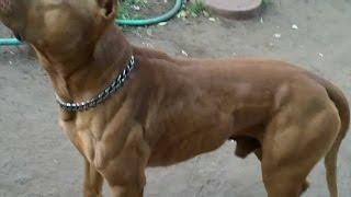 O poder do Pit Bull - The pit bull dog power (NEW)