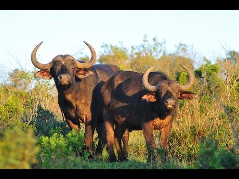 Buffalo on Kariega Game Reserve