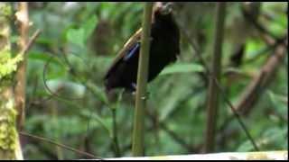 West Papua, Waigeo island and Arfakmountains Birds of Paradise.