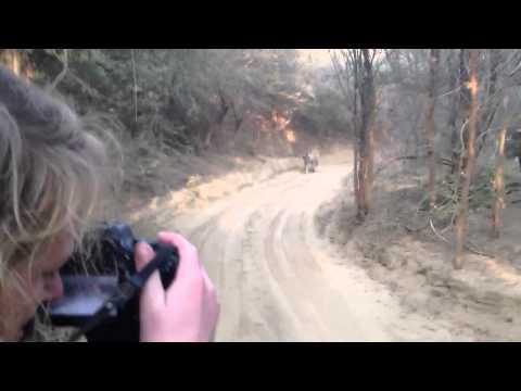 Tiger Safari Tiger Chase Attack Jeep in India s Ranthambore National Park