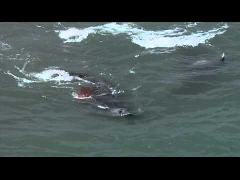 Orcas vs elefantes marinos
