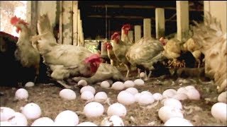 Poultry Farming in Bangladesh ::: The first Time Golden Poultry Farming