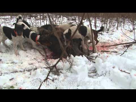 Wild Boar Drive Hunting In Hungary Nagykanizsa HD