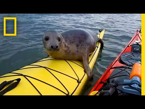 Xxx Mp4 Adorable Seal Catches A Ride On A Kayak National Geographic 3gp Sex