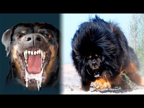 THE Most DANGEROUS DOGS In The World