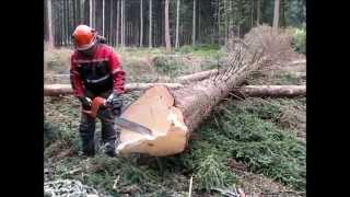 Complete processing of tree felling, limbing, handling a chainsaw Husqvarna 562 XP.