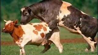 Primitive Technology vs World Modern Automatic Cow Milking Mega Machine Feeding Breeding Clean #ALN