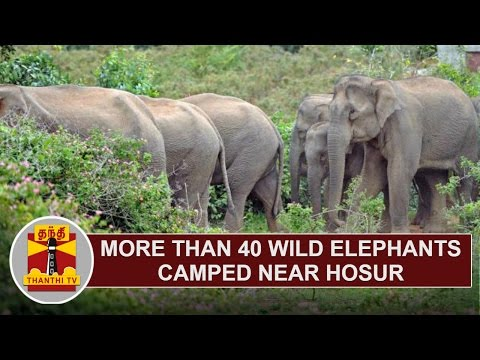 More than 40 Wild Elephants camped near Hosur   Thanthi TV