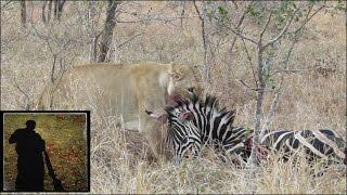 Powerful lioness drags heavy zebra kill