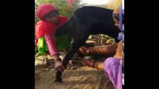 India, how to milk a goat, or not!