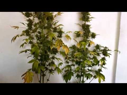 When to cut since drying her and as treating your plants of marijuana english subtitled.