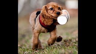 Funny And Cute Cocker Spaniel Compilation 2017 - Funny Dogs Video