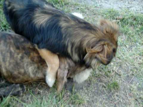 pitbul peleando con dos perros callejeros