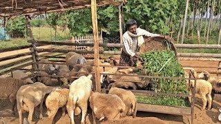 Sheep farming in pakistan goat farming profit goat farming tips goat farming in india goat farming i