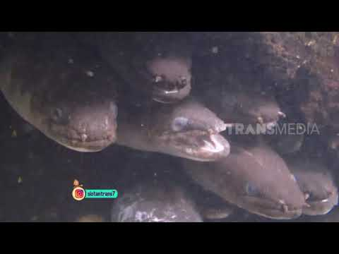Xxx Mp4 Awalnya Disangka Anakonda Ternyata Cuma Ikan Ini Si Otan 14 02 19 Part 2 3gp Sex