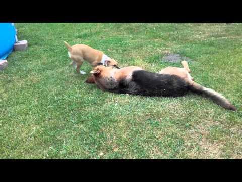Szczeniak zagryza Owczarka Niemieckiego walka psów Dog Fights