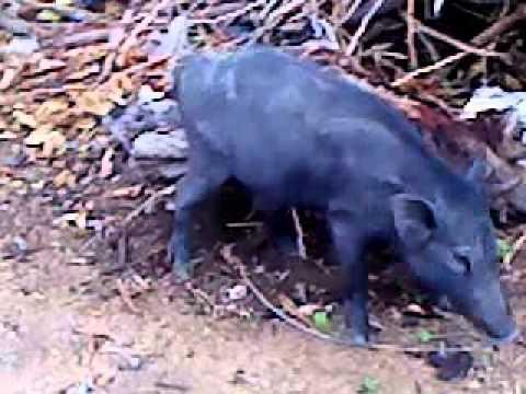 Xxx Mp4 Pig Mating 3gp Sex