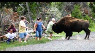 Hartebeest,Cape Buffalo,Bison Attack Humans Compilaton 2016 by Monetrio AnimalFightClub