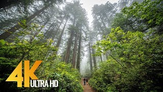 Redwoods:  Among the Giants in 4K - Unique California's Forest | Relaxing Video with Naure Sounds