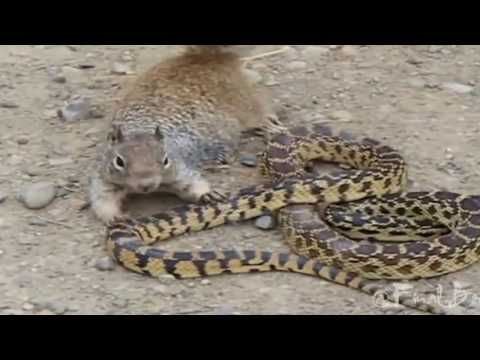 Real Fight Squirrel vs Snake ANIMAL FIGHTERS