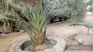 সৌদির আযোয়া খেজুরের সাথে অন্য খেজুর গাছের পার্থক্য