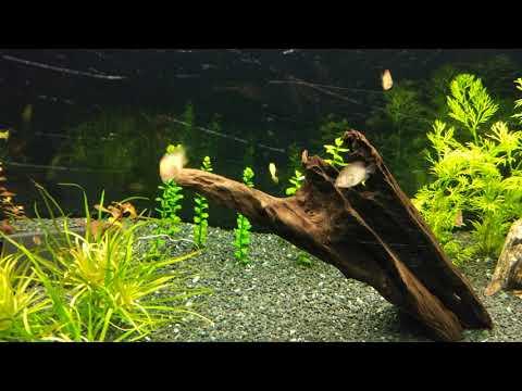 Bitki Akvaryumu - Yavru Discus / Sunset Mecariff Lepistes