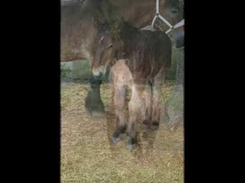 Konie Ardeńskie