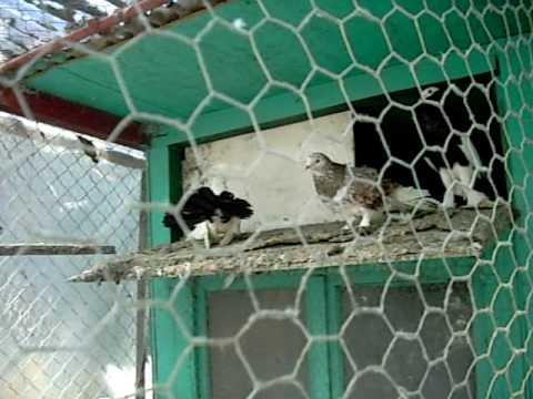 Pasari exotice gaini cocosi porumbei fazani de vanzare for sale Ilie Alexandru Nr 0727106550