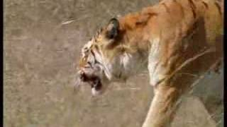 Families and mating rituals of tigers of the Emerald Forest, India - BBC wildlife