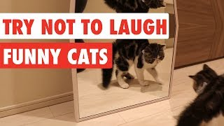Try Not To Laugh | Funny Cat Video Compilation 2017